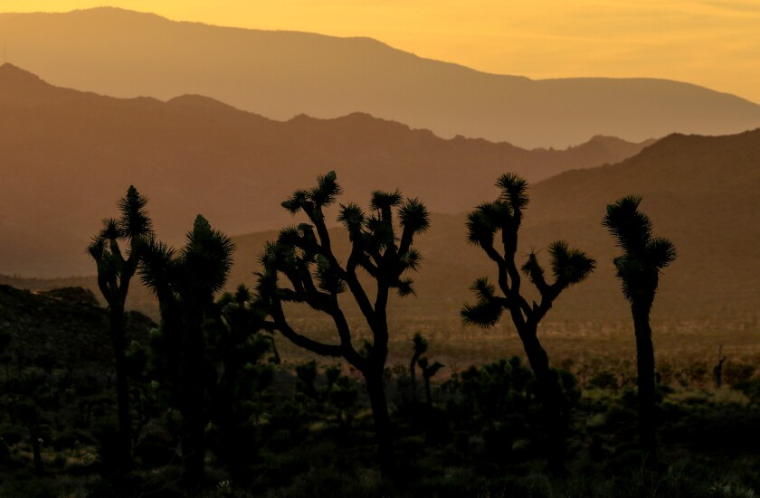 Joshua trees are California icons. Should they also be designated threatened species?