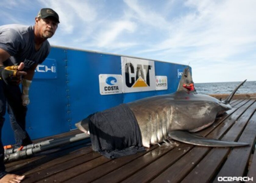 La Jolla native Brett McBride poses with a 12-foot, 1,400-pound great white shark he tagged as part of his work with the conservation organization, OCEARCH Courtesy Photos