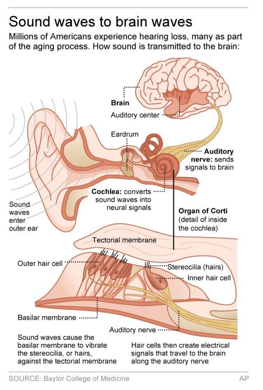 Graphic shows how sounds are transmitted to the brain; 2c x 5 inches; 96.3 mm x 127 mm;