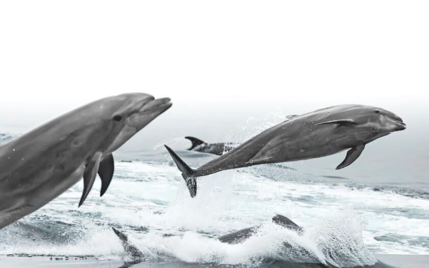 Dolphins off Newport Beach