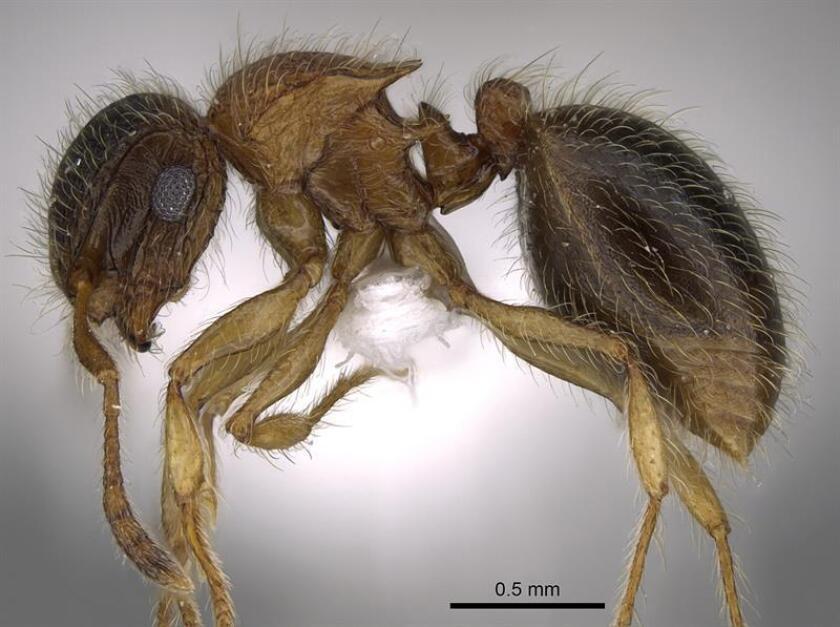 """Fotografía cedida por la Universidad Rey Saud de una nueva especie de hormiga, """"Meranoplus mosalahi"""", descubierta en la península arábiga, que ha sido registrada como """"Mo Salah"""" en honor al futbolista egipcio. EFE"""