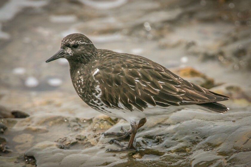 Black Turnstone.jpg