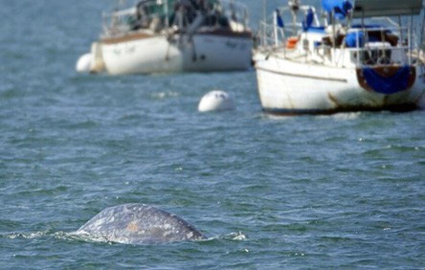 The whale now in San Diego Bay dubbed Diego would have had to avoid ships full of whalers seeking lucrative whale oil in the 1850s through 1880s. (K.C. Alfred / Union-Tribune)
