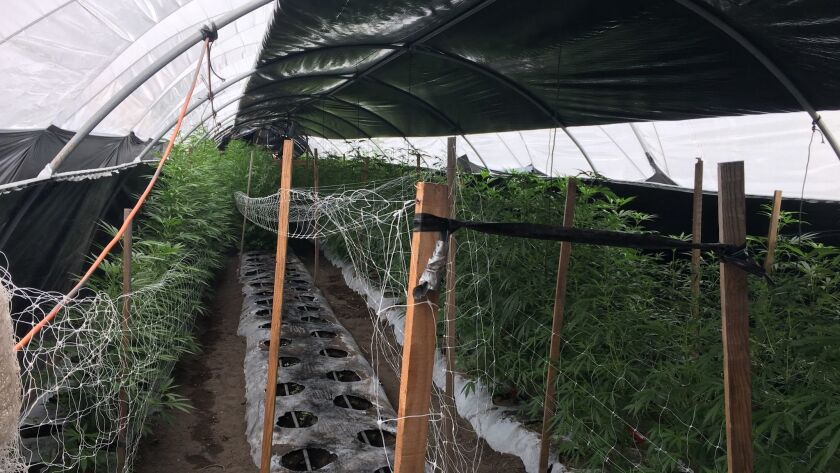 20 tons of illegal cannabis seized near Buellton in Santa Barbara