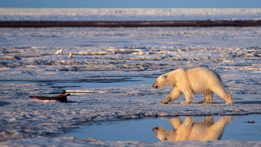 A polar bear walks in the Arctic National Wildlife Refuge. New research suggests that a small difference in global temperatures will have a big effect on wildlife habitat.