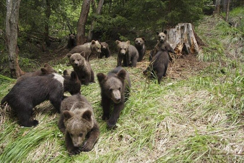 Romanian specialists teach orphaned bear cubs how to survive in ...