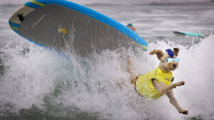 Sporting a mohawk and sunglasses, Derby, a goldendoodle owned by Kentucky Gallahue of Point Loma, leaps off the surfboard during the Imperial Beach Surf Dog Competition Saturday.