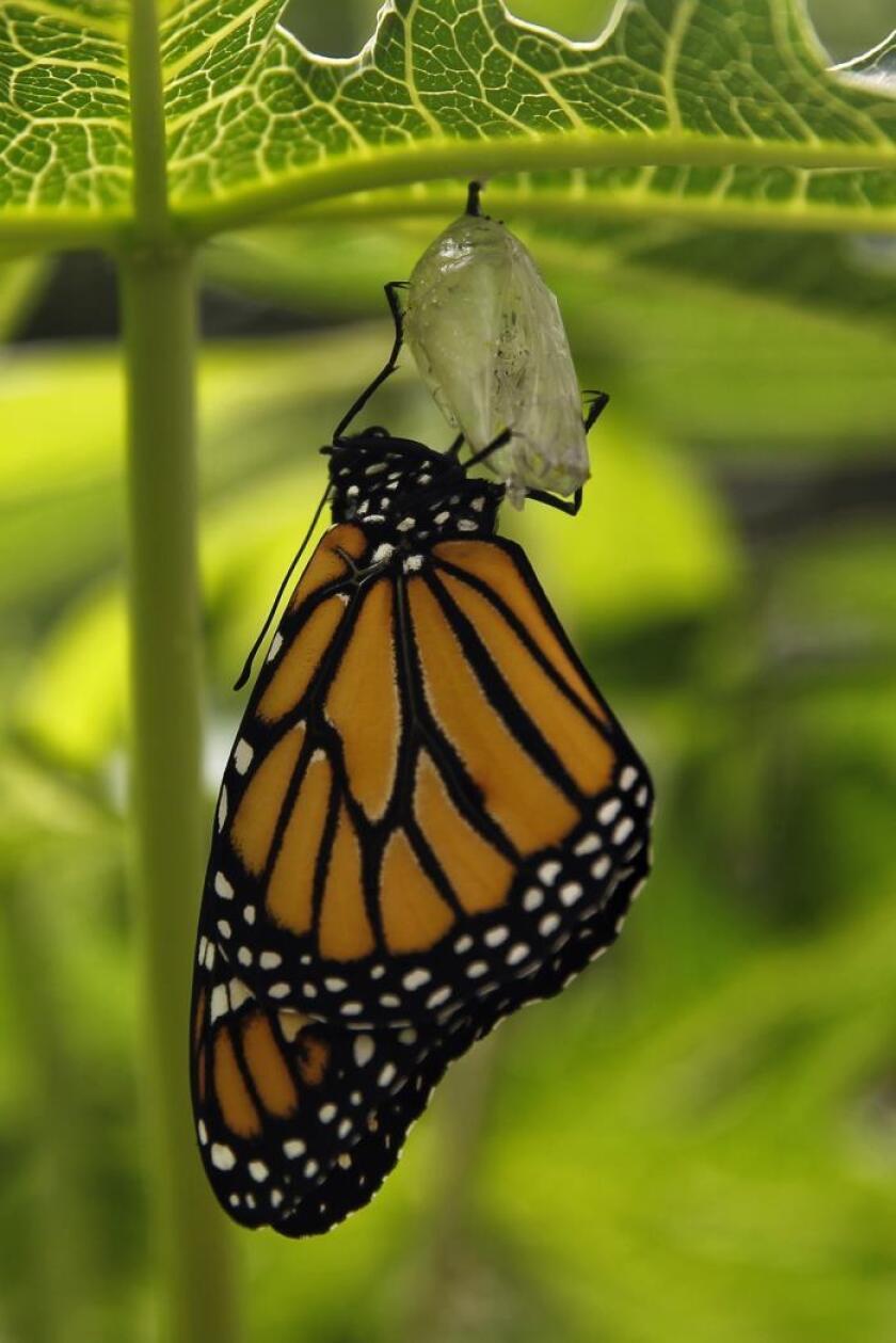 Vista de una mariposa monarca que sale de su capullo el martes 10 de abril de 2018, durante la inauguración del mes de las mariposas monarca en el mariposario del Zoológico de Chapultepec en Ciudad de México (México). EFE/Sáshenka Gutierrez/Archivo