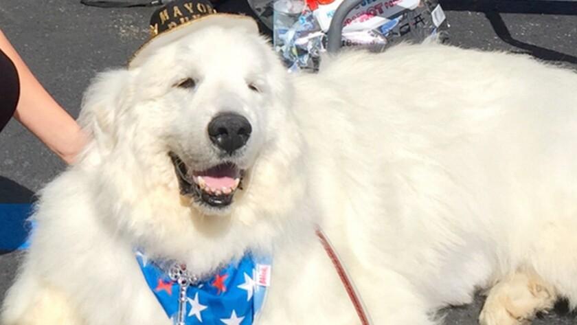 Duke es el nombre del gran pirineo, de nueve años, que ha sido elegido para desempeñarse en este importante cargo político en el pueblo de Cormorant.