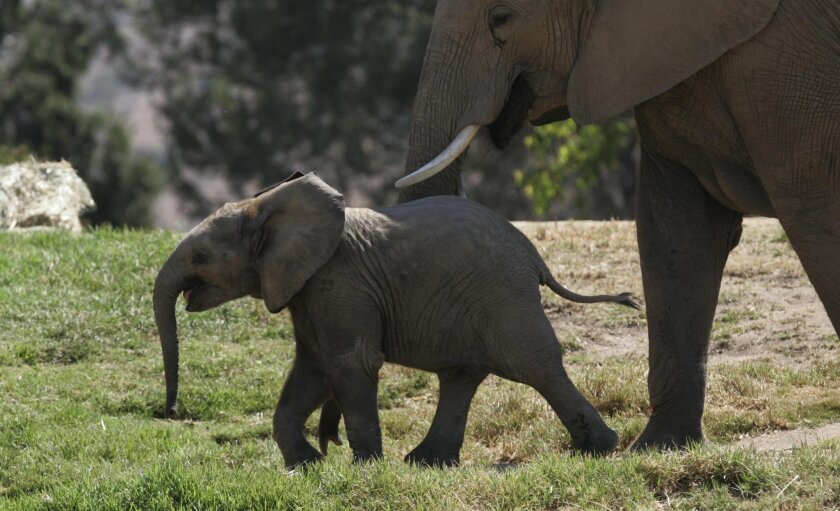 Emanti is one of four male baby elephants born at the Safari Park in 2010.