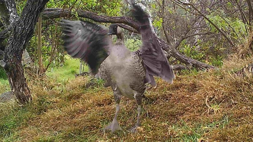 A nene fledgling about 6 months old tests its wings in Hawaii Volcanoes National Park. Two of the endangered geese were run over and killed last month.