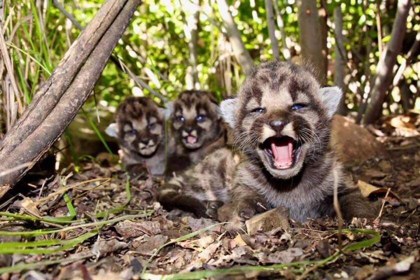 Three mountain lion kittens