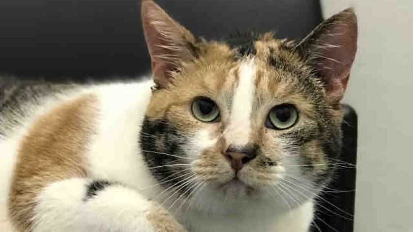 Cali Anne is a 10-year-old, spayed, female domestic shorthaired cat who is up for adoption this week at the San Diego County Animal Shelter.