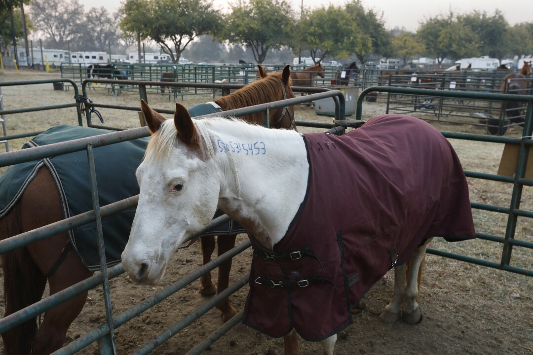 A horse at the fairgrounds after the Camp fire