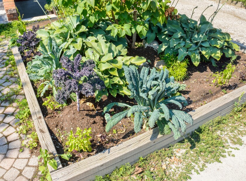 Landscaped vegetable garden with kale growing in a city during s