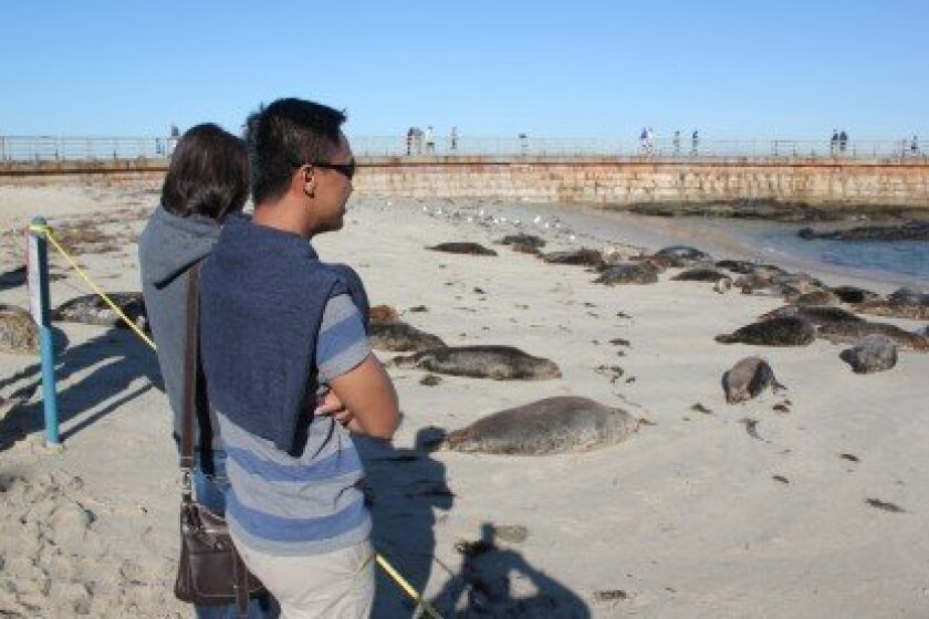 Visitors view the harbor seals at Children's Pool during the first month of the marine mammals' pupping season.
