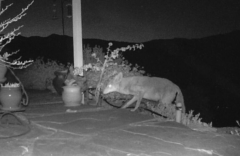Una cámara de vigilancia capta a un coyote que camina hacia un patio residencial.