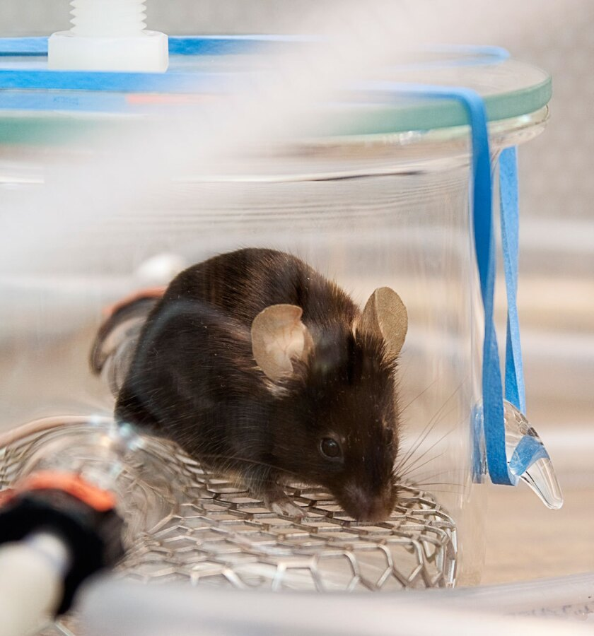 A mouse checks out a glass chamber used to collect odor-related compounds.