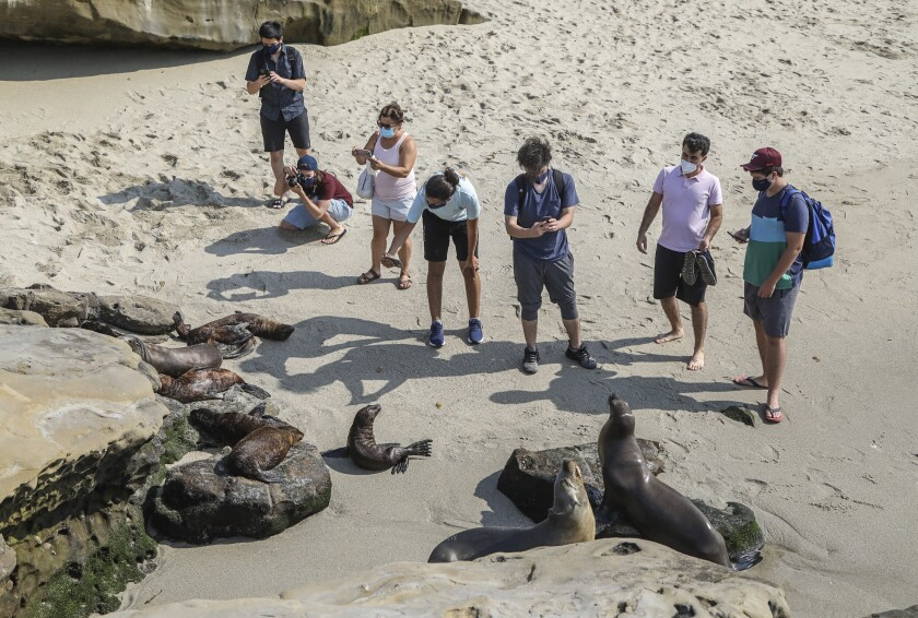 Beach-goers move in close to photograph sea lions and their pups at Boomer Beach next to Point La Jolla.