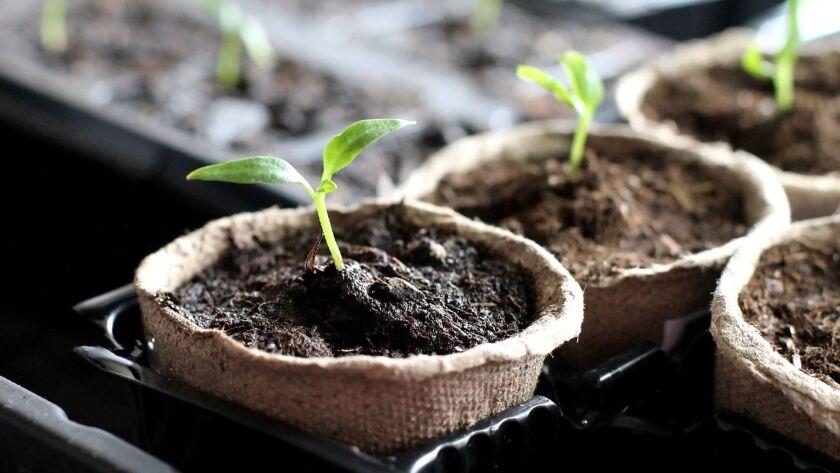 Gardening. Seedlings