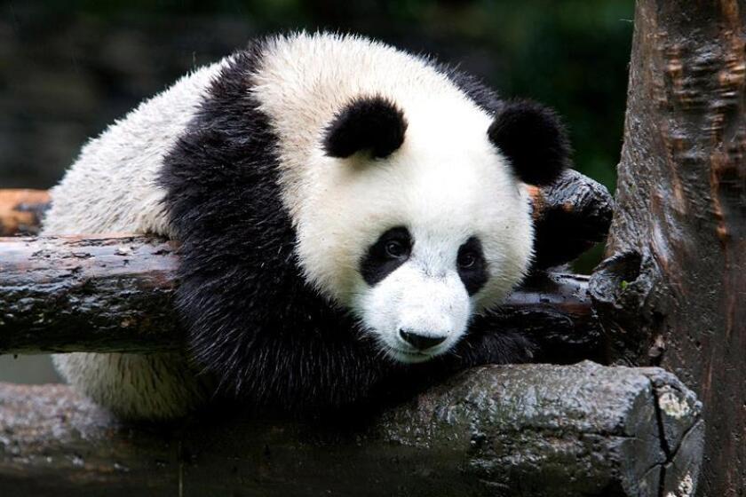 Un grupo de científicos ha encontrado restos de un panda gigante de 22.000 años de antigüedad en China que pertenece a un linaje hasta ahora desconocido, según un estudio publicado hoy en la revista especializada Current Biology. EFE/Archivo