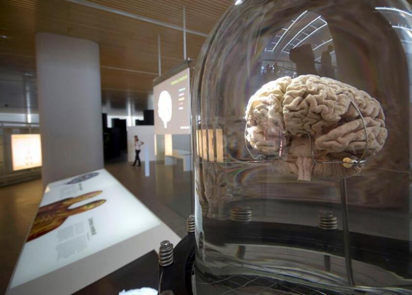 Detalle de un cerebro hurmano. EFE/Archivo