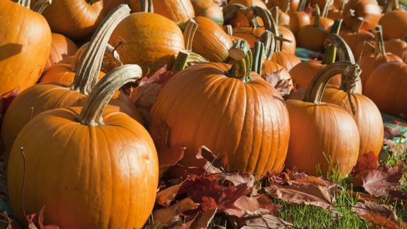 Fields of ripe pumpkins are ready to be picked for the Halloween season.