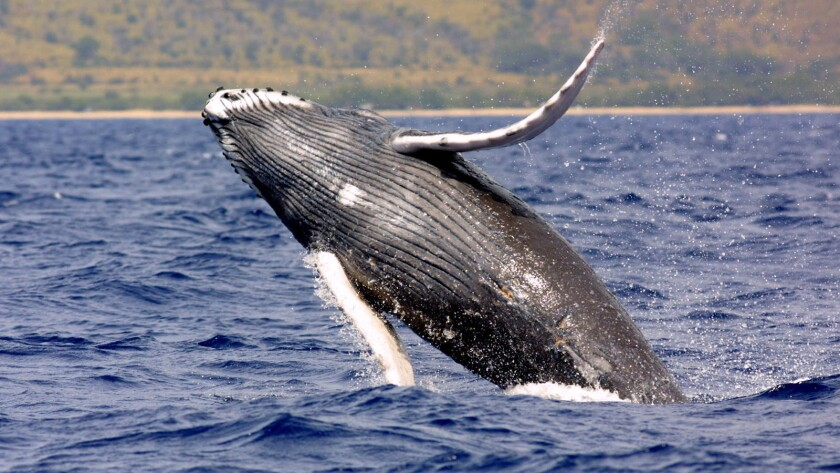 Humpback whales can be seen in Southern California waters in summer.