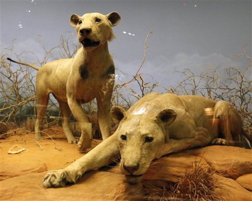 "Two world renowned man-eating Tsavo lions are seen stuffed and on display at Chicago's Field Museum of Natural History Monday, Nov. 2, 2009. Scientists have determined that the two lions probably ate about 35 Kenyans over a nine month period in 1898 and not the 135 they've long been credited with devouring. Their killing spree inspired the 1996 movie ""The Ghost and the Darkness."" (AP Photo/Charles Rex Arbogast)"