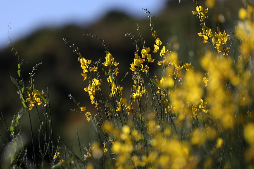 Wildflowers bloom at Wheeler Gorge Campground in Los Padres National Forest.