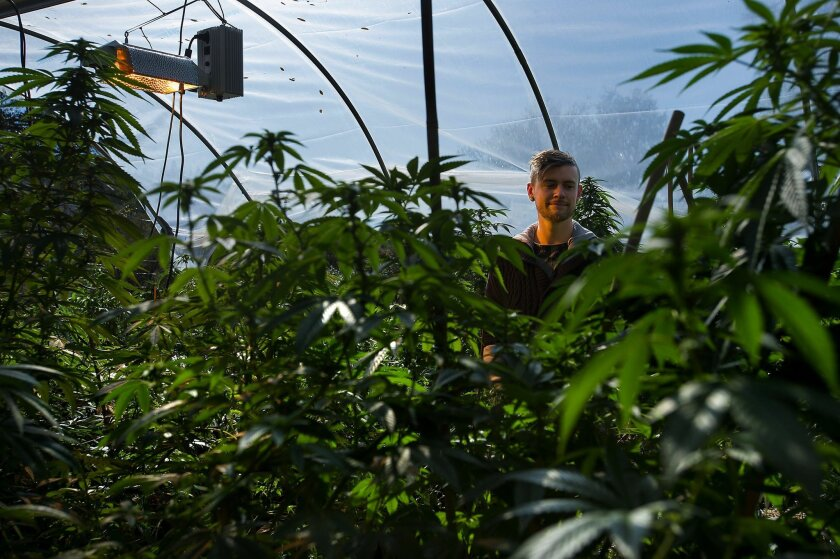 California pot farmers wrestle with new medical marijuana rules
