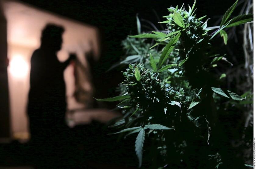 Para Juan Pablo García Vallejo, el gran momento de la marihuana en la literatura se produce con las novelas De perfil (1966) de José Agustín, y Pasto verde (1969) de Parménides García Saldaña, donde la hierba gana protagonismo y el personaje del marihuano adquiere ciudadanía.