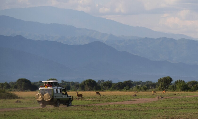 A lone vehicle passes through a herd of Uganda kob antelope in Queen Elizabeth National Park.