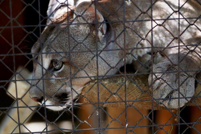 'Messi', 'Neymar' y 'Luis Suárez' tres pumas nacidos hace tres años, crecen en el zoológico de Saransk, una de las atracciones que presenta la ciudad, capital de la República de Mordovia, a más de 600 kilómetros de Moscú. EFE/Archivo