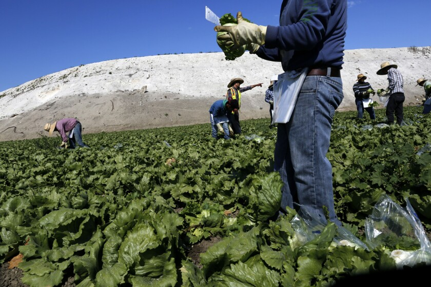 Workers harvest iceberg lettuce at a farm outside Salinas. A new study has found that children exposed to chemicals commonly used on such fields suffer from diminished lung function.