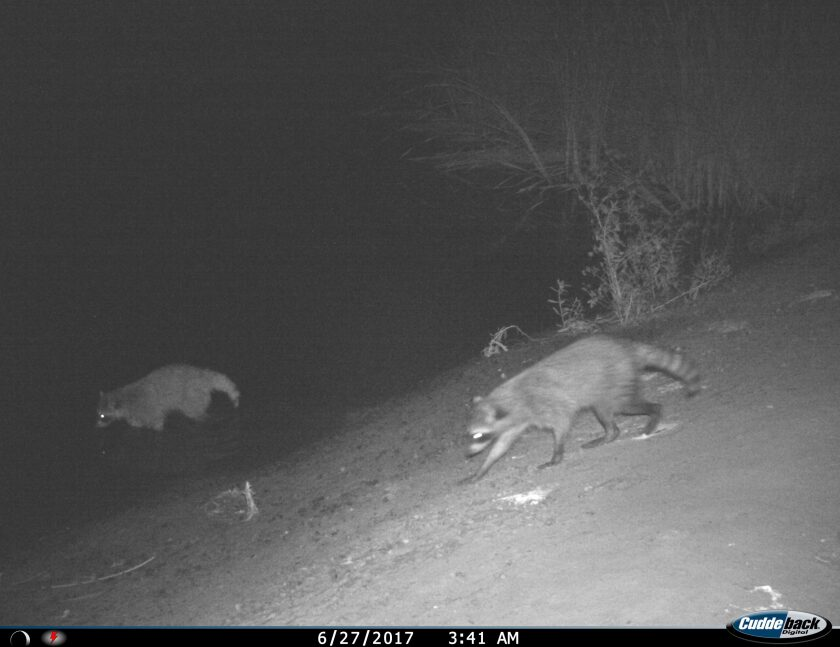 Raccoons are pictured moving through the wildlife corridor on June 27, 2017.