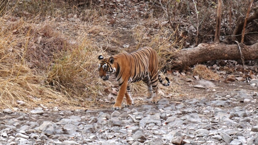 The tigress Mala wanders through Ranthambore National Park, where the tiger population has risen from 18 a decade ago to nearly 60.