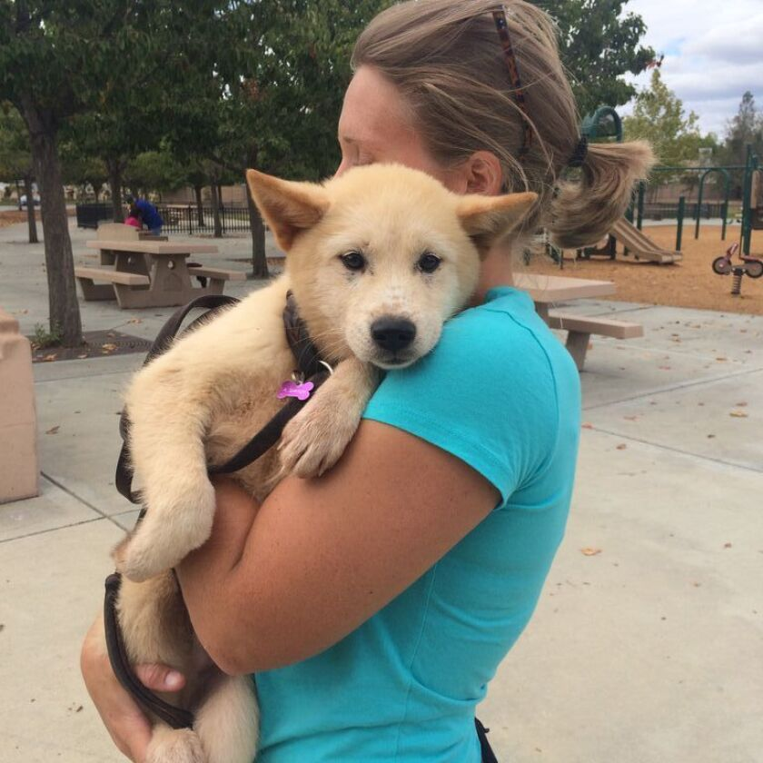 """Twenty-nine dogs that were part of a """"meat-farm"""" in South Korea have been brought to San Diego for possible adoption, according to the San Diego Humane Society. Above, Humane Society officer Ali Spencer holds Jacob, a 4-month-old Jindo-mix."""