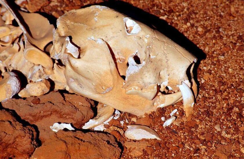 """Un equipo de investigadores ha hallado un fósil casi completo del extinto """"león marsupial"""" de Australia, un animal que tenía un peso estimado de más de 100 kilos, según un estudio publicado hoy en la revista especializada Plos. EFE/Clay Bryce-Museo de Australia Occidental PROHIBIDA SU PUBLICACIÓN EN AUSTRALIA Y NUEVA ZELANDA SOLO USO EDITORIAL"""