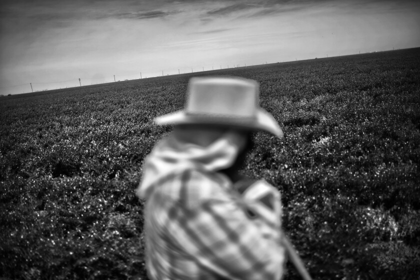 A worker stands in a bean field last year in drought-ravaged Huron, Calif.