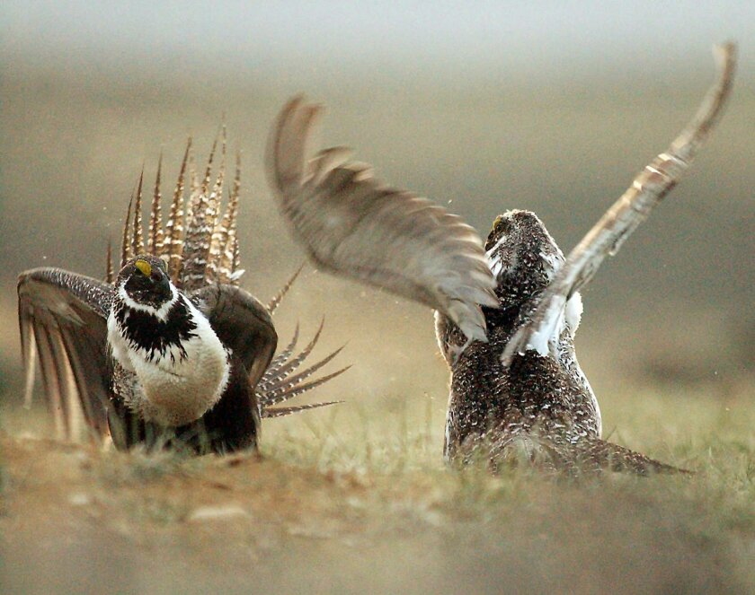 FILE - In this May 9, 2008 file photo, male sage grouses fight for the attention of a female, southwest of Rawlins, Wyo. The ground-dwelling bird, whose vast range spans 11 Western states, does not need federal protections, the Interior Department said Tuesday, following a costly effort to reverse the species' decline without reshaping the region's economy. (Jerret Raffety, Rawlins Daily Times via AP, File)