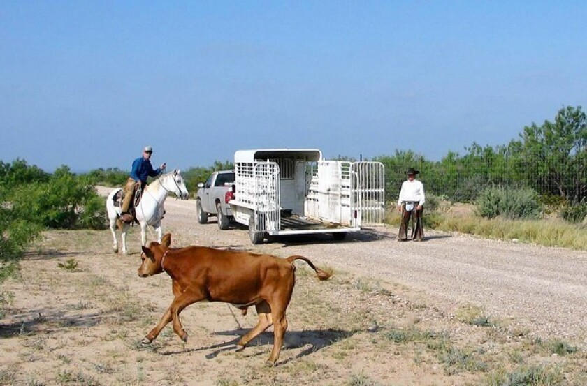 On Texas-Mexico border, 'tick riders' fight a little big disease
