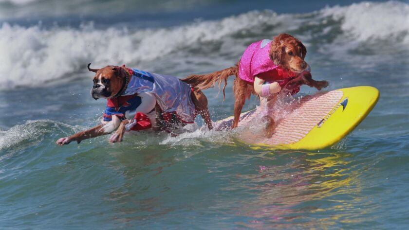 Hanzo the pitbull dressed as Coco Loco, left, and teamate Kalani, dressed as Diva Pinkie Lucha, bail on a wave after riding it most of the way into the beach in the Team Spirit doubles category Sund