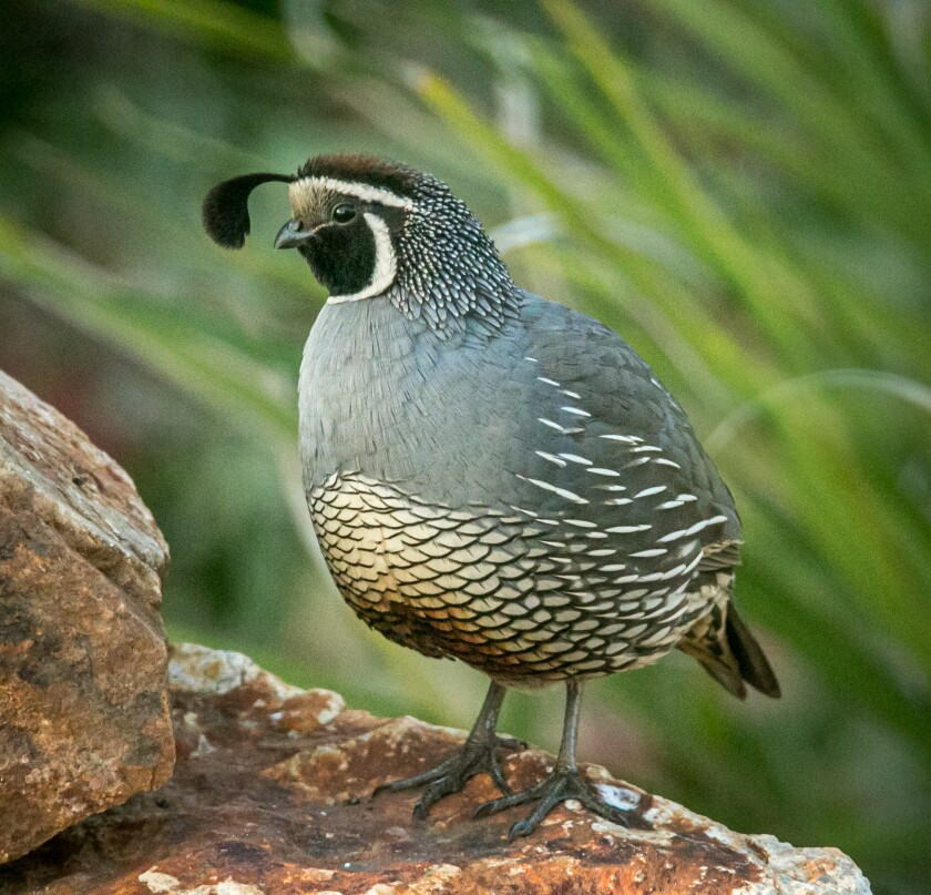 A male quail being a lookout.