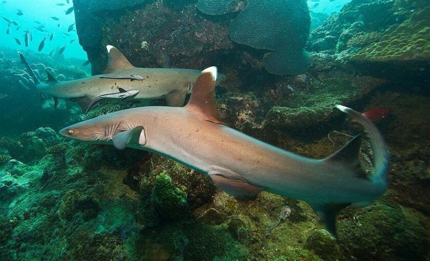 Fotografía cedida hoy, jueves 18 de octubre de 2018, por la Comisión Nacional para el Conocimiento y Uso de la Biodiversidad (Conabio) que muestra un par de tiburones. EFE/ Gerardo del Villar /CONABIO/SOLO USO EDITORIAL