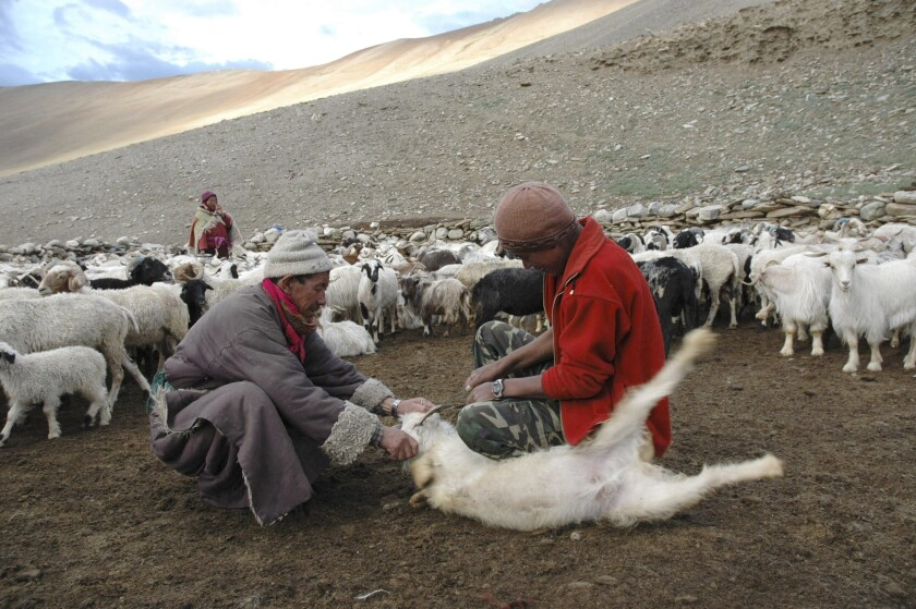 FILE - In this July 21, 2007, file photo, an elderly man belonging to the Changpa, the nomadic herders who rear the Pashmina goats, holds his Himalayan goat as his son cuts its horn that was hurting the animal's eye in Kharnak, some 185 kilometers (116 miles) from Leh, India. A months-long military standoff between India and China in 2020 has taken a dire toll on local communities as tens of thousands of Himalayan goat kids die because they couldn't reach traditional winter grazing lands, officials and residents said. (AP Photo/Dar Yasin, File)