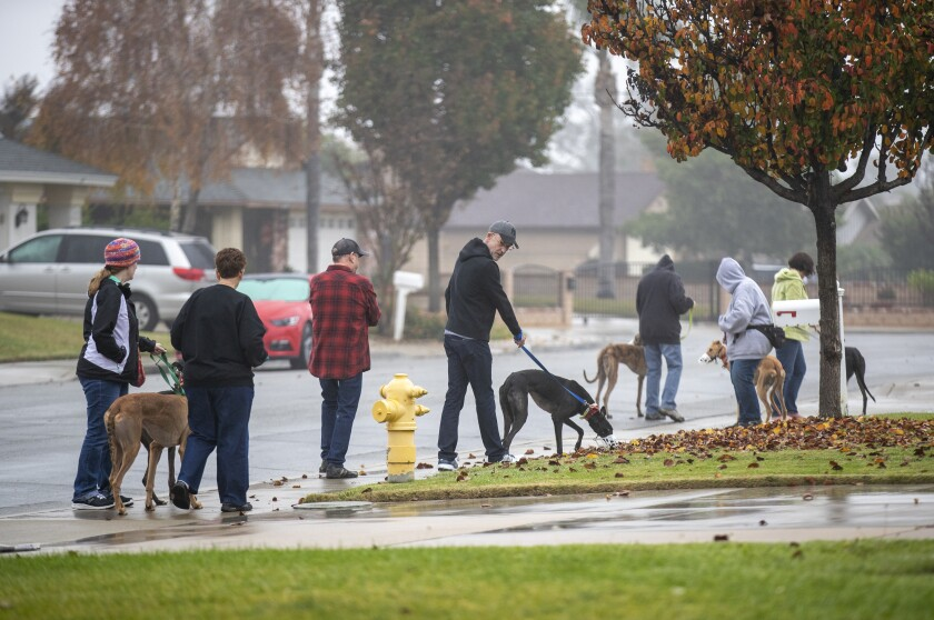 A group of volunteers and greyhounds go for a walk on a damp day in a residential neighborhood.