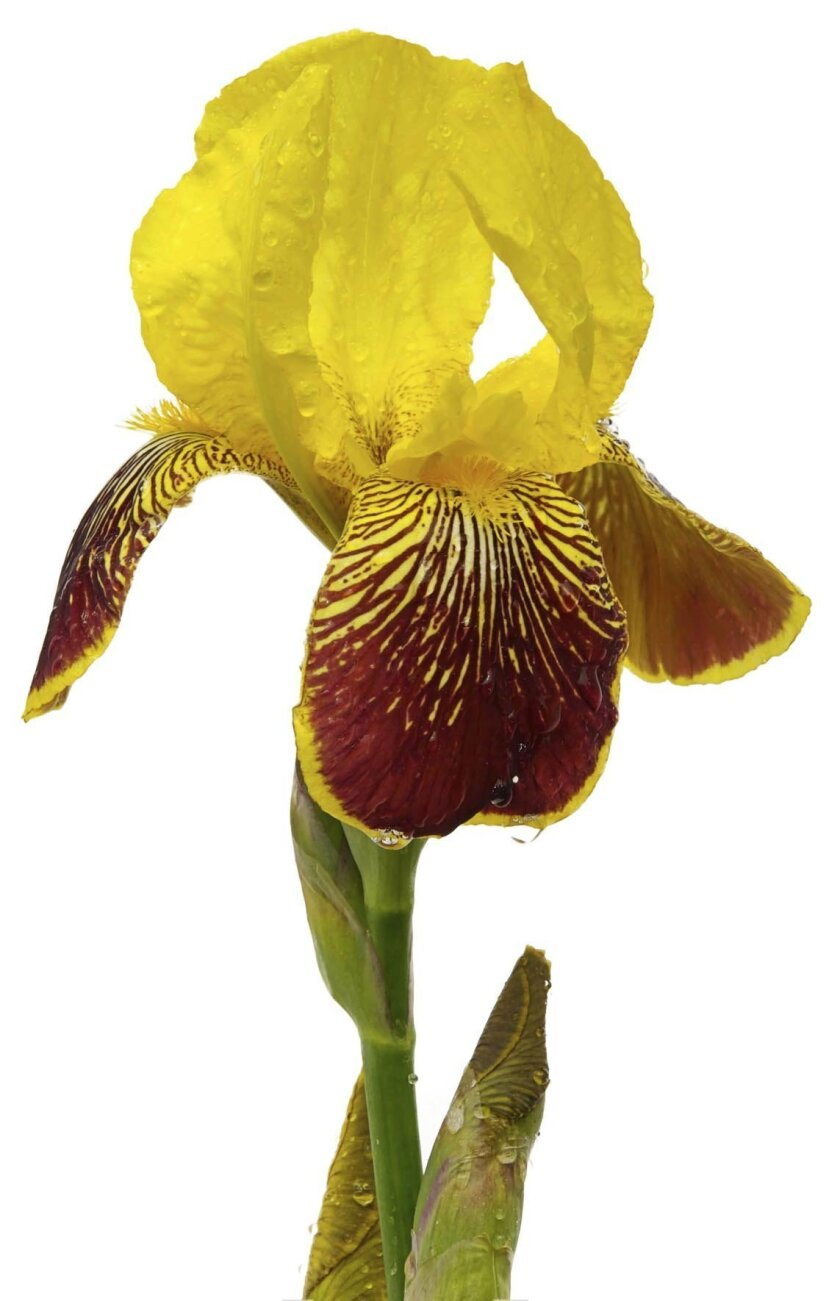 yellow_and_maroon_iris