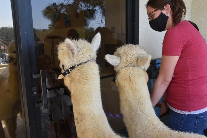 Alpacas from the Helen Woodward Animal Center gaze through the glass door of a skilled nursing facility in Poway.