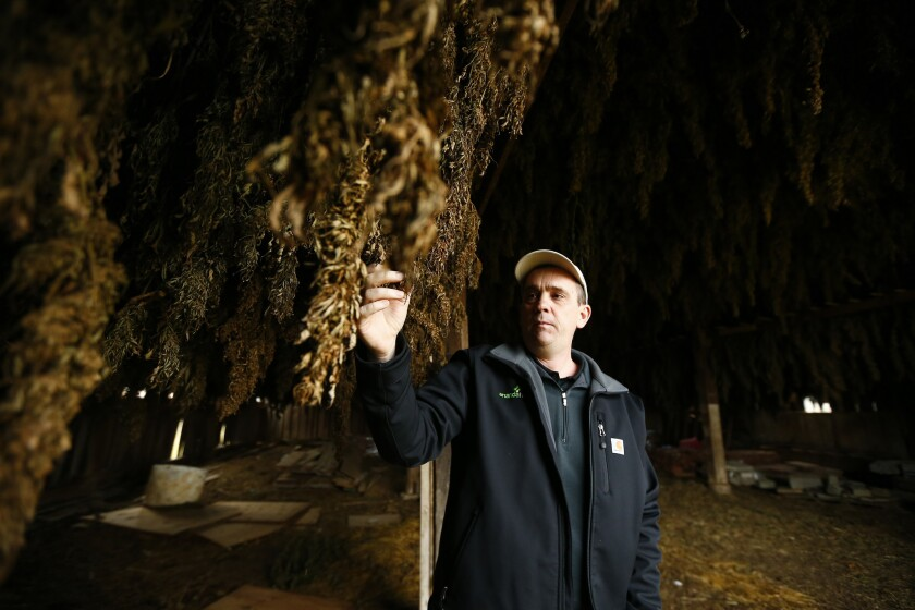 Brian Furnish, part owner of Ananda Hemp, examines drying hemp buds in what was once a tobacco barn in Cynthiana, Ky.